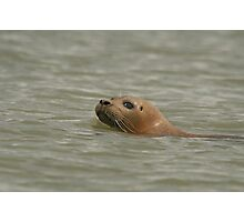 Wary, a common seal decides to investigate Photographic Print