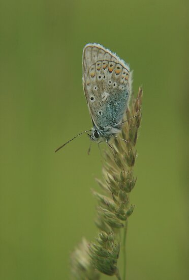 A holly blue butterfly waiting for the sun by miradorpictures