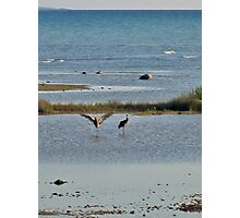 Sand Hill Cranes in the shallows, Beaver Island, MI Photographic Print