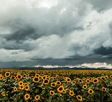 Rocky Mountain Sunflowers by Greg Summers