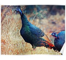 Wild Turkeys Scratching out a Living Poster