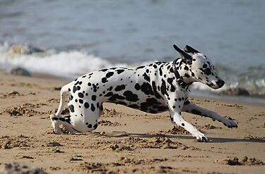 Dalmation Dash by Ladymoose