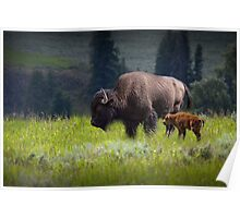 American Buffalo Mother and Calf in Yellowstone Poster
