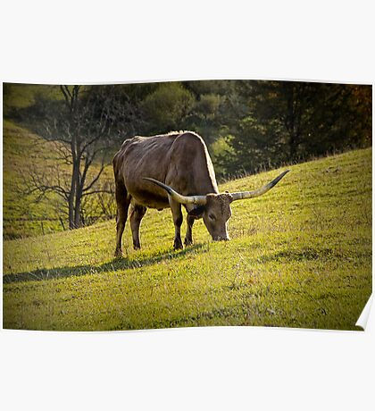 Longhorn feeding in a Pasture Poster