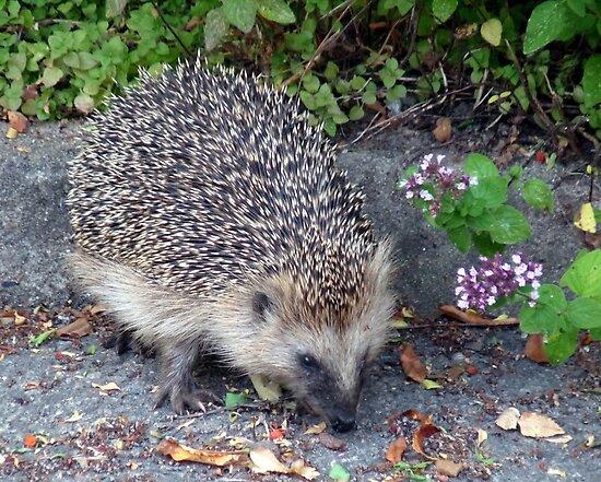 My Hedgehog Neighbor by HELUA