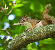Red Squirrel on a Branch by Randall Nyhof