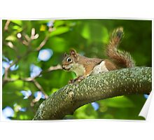 Red Squirrel on a Branch Poster