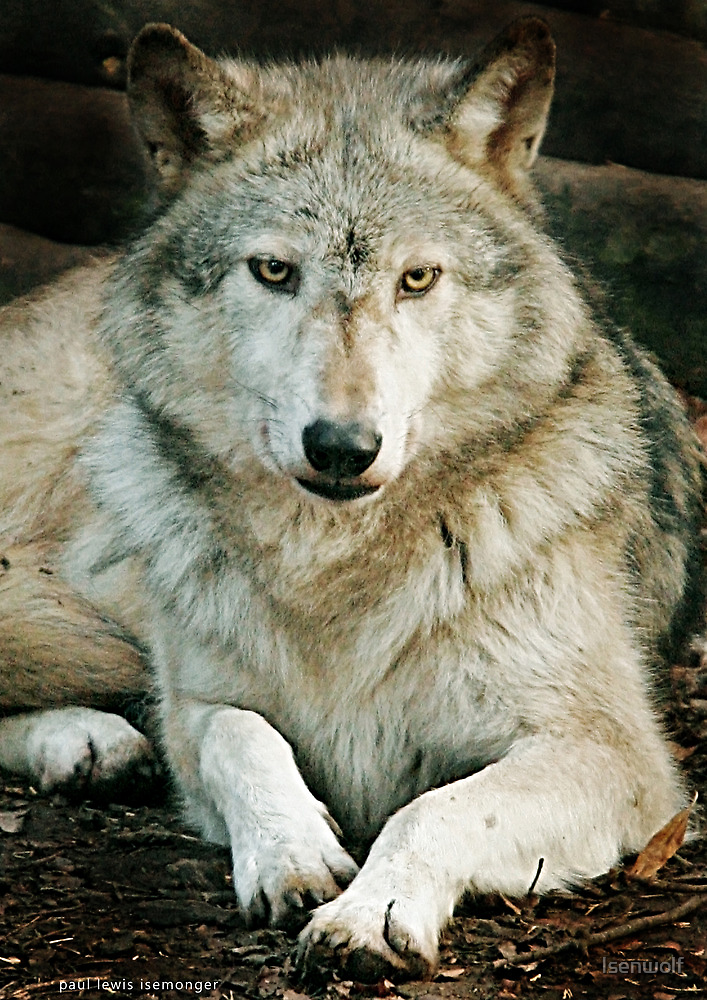 Wolfdreamer by Isenwolf