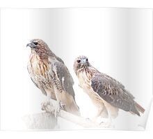 Pair of Red-tail Hawks on White Poster