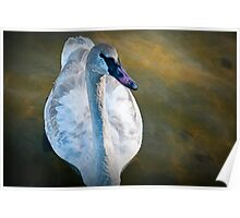 Trumpeter Swan floating on the water Poster