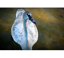 Trumpeter Swan floating on the water Photographic Print