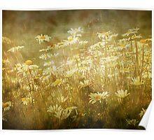 Sun bathed Daisies along a Stream Shore Poster