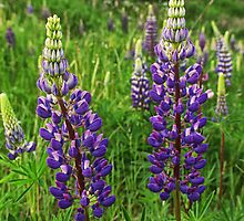 Purple Lupine Flower Blossoms No.824 by Randall Nyhof