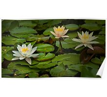 Lily Pads and Blossoms No 186 Poster