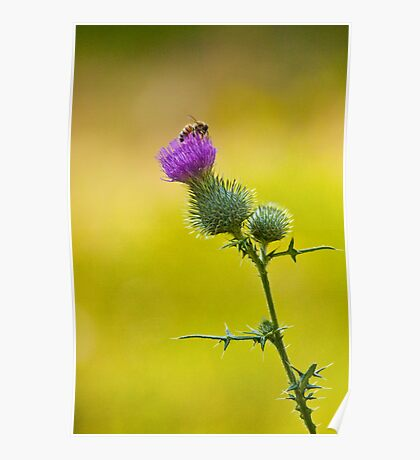 Bull Thistle with Bumble Bee No. 0192 Poster
