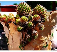 Hens and chicks in a broken pot Photographic Print