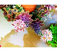 Blooming hens and chicks 2 Photographic Print