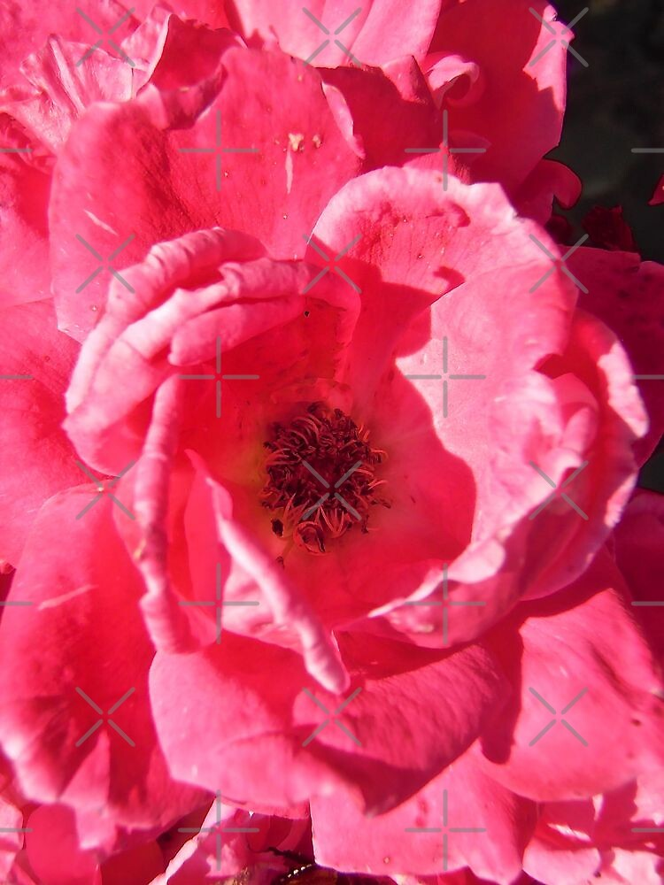 Governor Generals Roses 33 by Shulie1