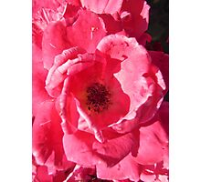 Governor Generals Roses 33 Photographic Print