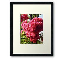 Governor Generals Roses 35 Framed Print