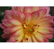 Pink and Yellow Flower Photographic Print