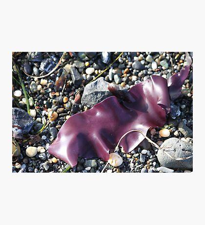 Purple Seaweed Photographic Print