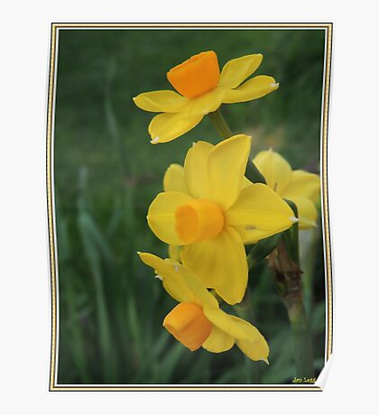 Winter Daffodil Poster