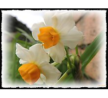 More Daffodils   Photographic Print