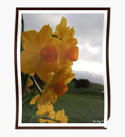 Daffodil Beauty Poster