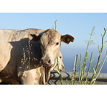 Cliff Climbing Cows Photographic Print