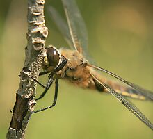 Four spotted chaser dragonfly  by miradorpictures