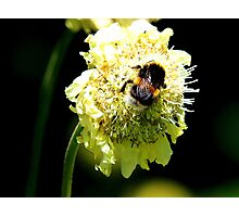 Bumble Bee on White Flower Photographic Print