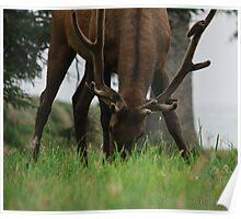 Grazing Bull Poster
