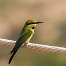 Rainbow Bee Eater by mncphotography