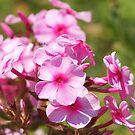 Pretty in Pink Phlox by Linda  Makiej