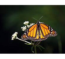 Low Key Monarch Photographic Print