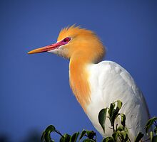 Cattle Egret by Brad Grove