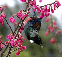 Tui - swinging in the blossoms........! by Roy  Massicks