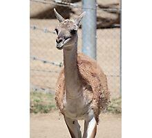 Llama Photographic Print