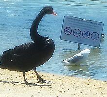 Wish I could read !! - Black Swan said to Seagull - Sanctuary Lakes Vic. by EdsMum