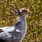 Secretary Bird  -   Ngorongoro  Crtarer Tanzania by john  Lenagan