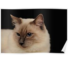 rag doll cat #3 Poster