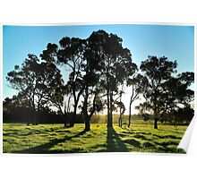 late afternoon gum trees Poster