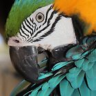 Macaw grooming #2 by emsta