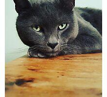 Russian Blue cat Photographic Print