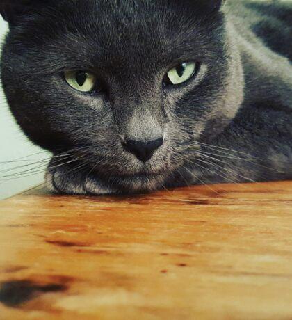 Russian Blue cat Sticker