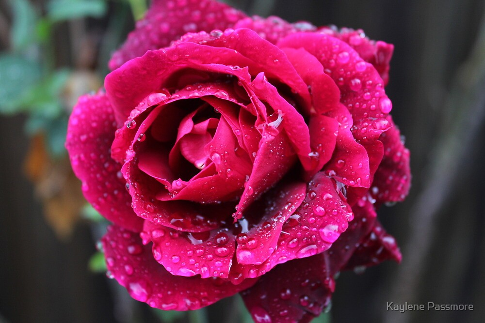 Rose in the rain by Kaylene Passmore
