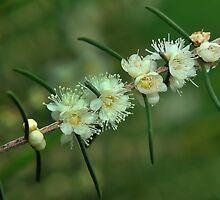 baeckea flowers #1 by metriognome