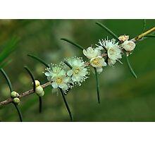 baeckea flowers #1 Photographic Print