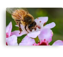 Bee on Geraldton Wax Canvas Print
